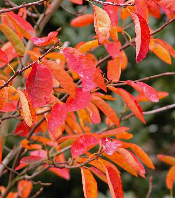 Autumn garden border enlivened by the bright orange-red autumn foliage of Amelanchier canadensis.
