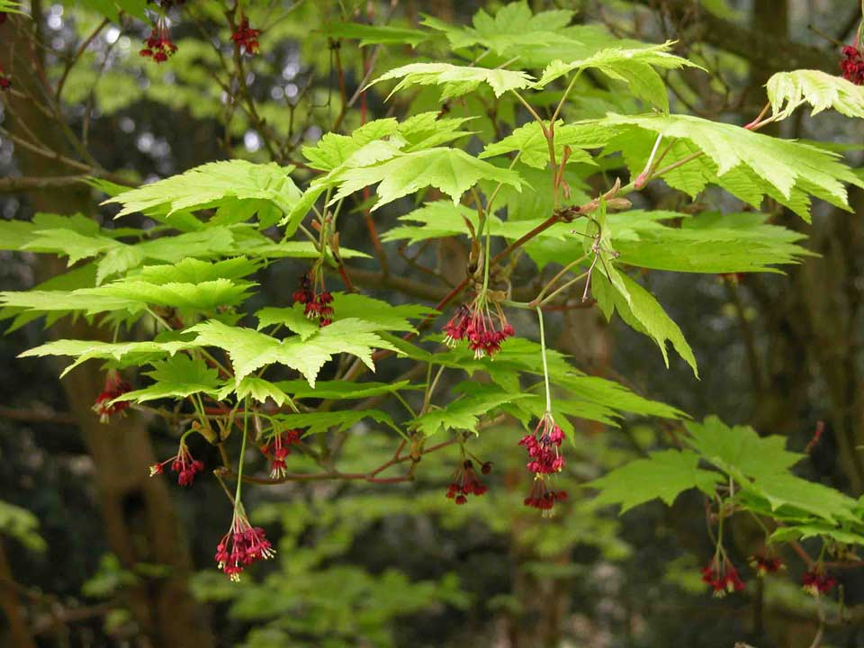 Acer japonicum Vitifolium (Vine-leaved Full Moon Maple) flowering in a garden border.