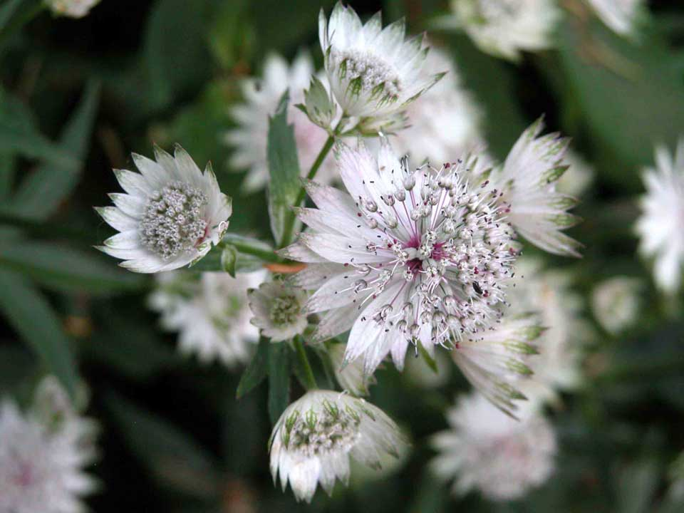 Delicate white Astrantia flowering in a garden border throughout summer.