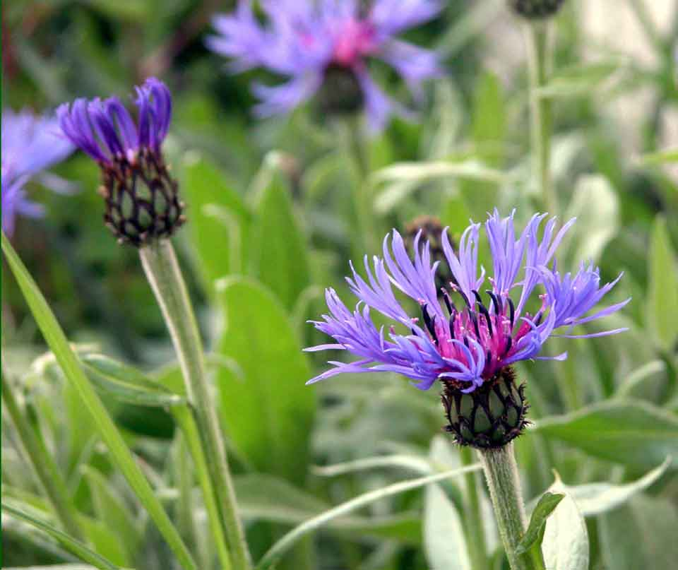 Vivid purple-pink Centaurea montana flowers in a garden border in early summer.