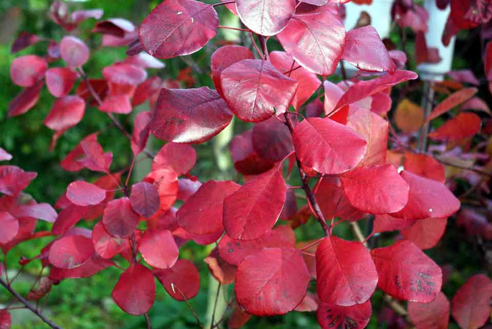 Bright red Cotinus rubrifolius leaves providing striking impact for an autumn garden border.