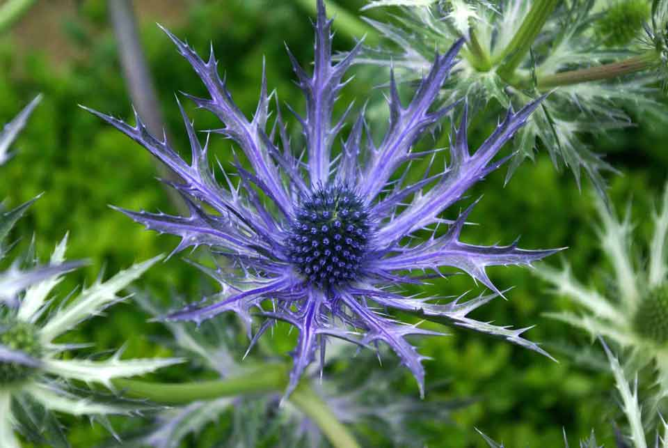 Metallic-blue Eryngium flowers in a garden border.