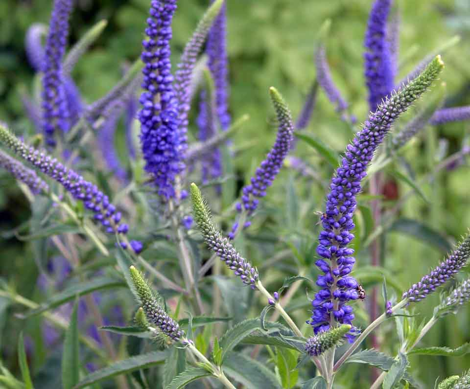 A late summer flower border with upright, densely packed spikes of tiny, tubular, purplish-blue flowers of the Veronica plant.