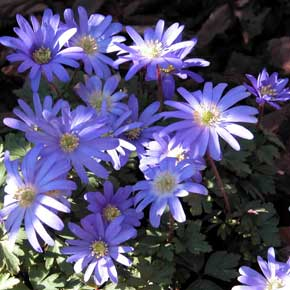 The violet-blue flowers of Anemone blanda give interest to a garden border in early spring sunshine.
