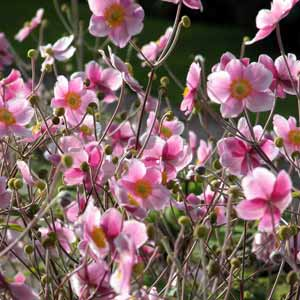 A garden border filled with a floating haze of pale-pink Japanese anemone flowers.