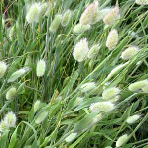 A flowing drift of Lagurus ovatus grass with feathery seedheads in a meadow-style garden border.