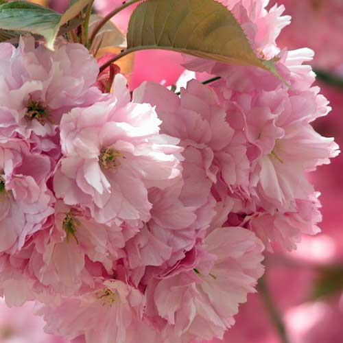 The branch of an oramental cherry loaded with a profusion of beautiful pale pink double flowers in a spring garden.