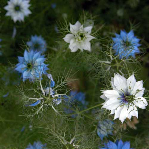 Delicate misty blue and white flowers of Nigella, with feathery foliage, in a summer garden border.