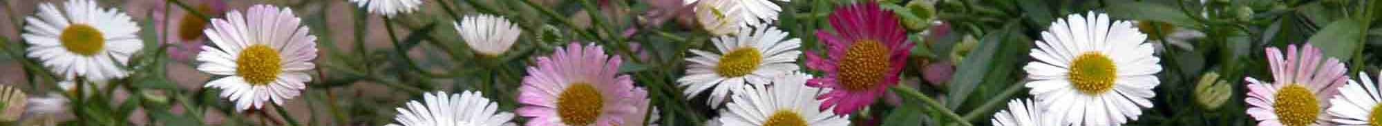 Flower border with delicate white, purple and pink Erigeron karvinskianus daisy-like flowers