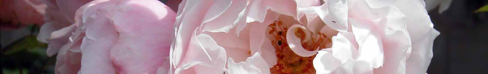 Close up of the semi-double flowers of 'The Generous Gardener' rose, pale pink with gold centres.