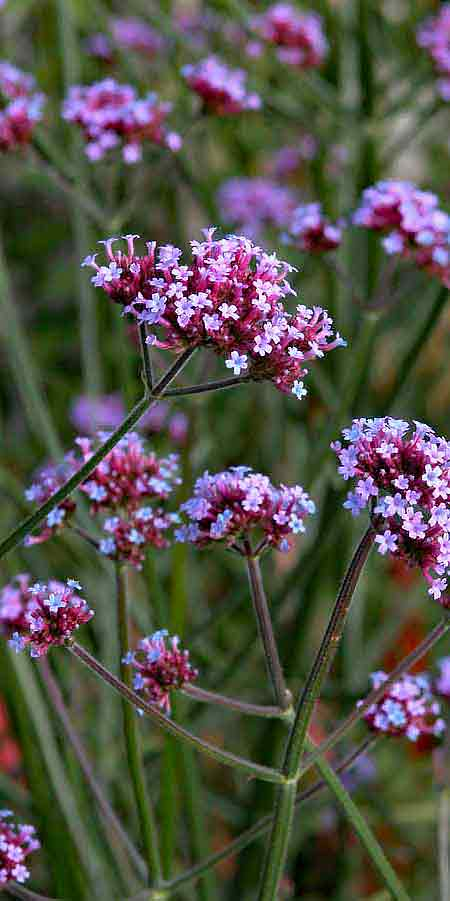 Tall hazy Verbena bonariensis with small jewel-like purple blooms in a summer flower border
