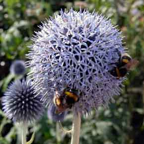 Striking soft blue, spherical flowerheads of wildlife-friendly Echinops bannaticus 'Taplow Blue' in a summer garden border.