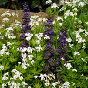 Clusters of small, white, starry Galium flowers, punctuated by spikes of bright purple Ajuga, provide ground cover in a low maintenance garden border.