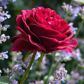 A stately red-pink Rosa 'Falstaff' flower against the delicate blue of Nepeta flowers in a garden border.