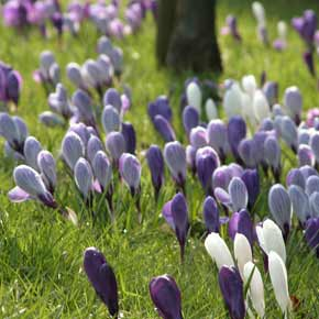 A mass of blue, purple and white crocus flowers in verdant spring grass.
