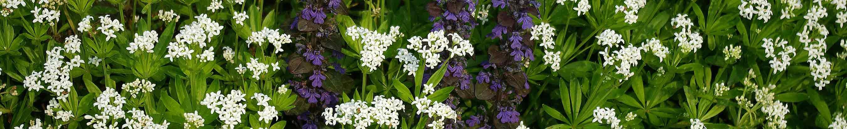 Woodland flower border with Galium and Ajuga