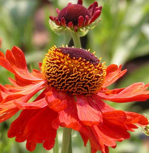 The burnt orange-red flowers of the Helenium 'Moerheim Beauty' give glorious late summer colour to a garden