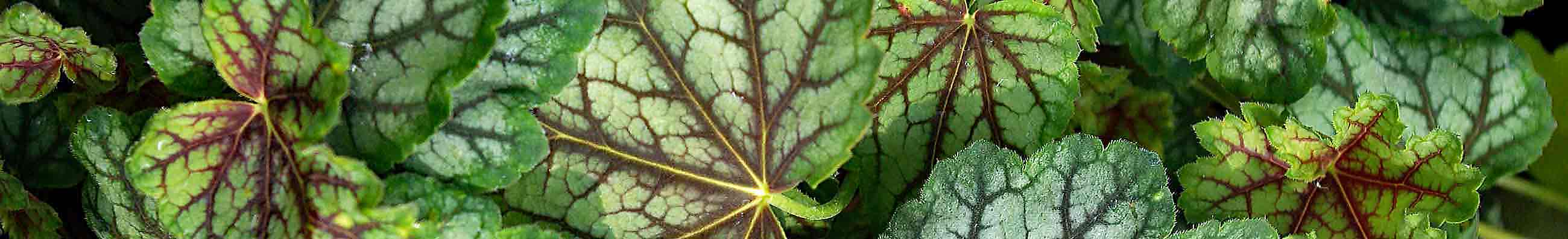 A clump of Heuchera 'Green Spice' plants in a garden border, with their attractive silver-green and deep burgundy veined leaves.