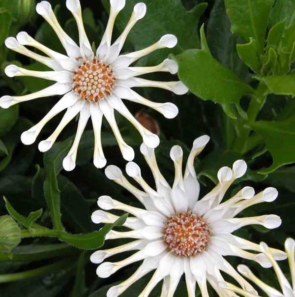 The striking delicate white Osteospermum 'Nasinga Cream' flowers in an early-summer garden border
