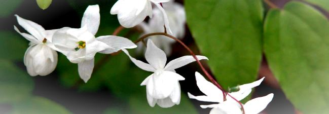 Garden border design ideas from the Weatherstaff PlantingPlanner | border plant - Epimedium x youngianum 'Niveum'