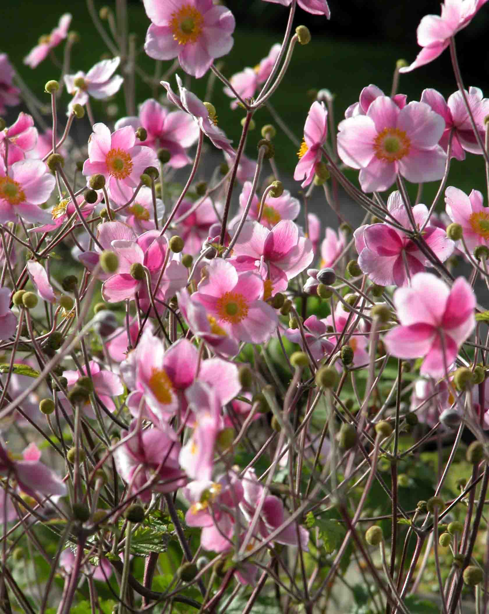 Wild-flower garden design with a mass of graceful pale-pink Japanese anemone flowers floating above a border in late summer.