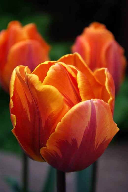 Bright orange flowers of Tulip 'Prinses Irene' providing stunning elegance in a spring garden border