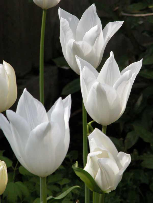 Elegant, pure white lily-flowers of Tulip 'White Triumphator' growing in the light-shade of a spring garden border