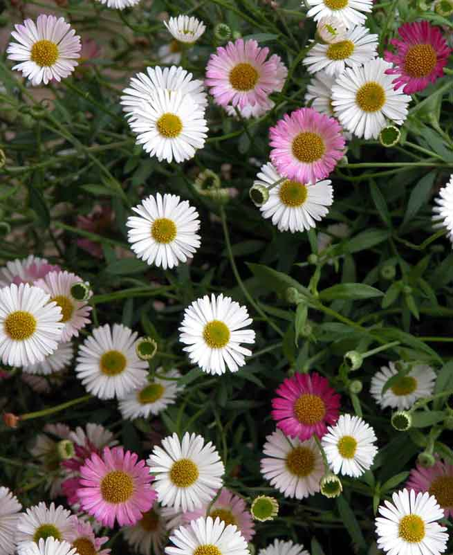 The bright daisy flowers of the Erigeron karvinskianus plant in a garden border - opening white then soon turning to pinkish-purple