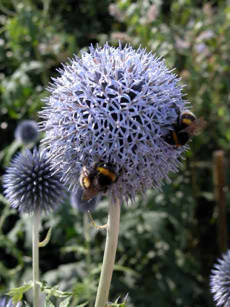 Summer garden border with the bright blue spherical flower-heads of Echinops bannaticus 'Taplow Blue'.