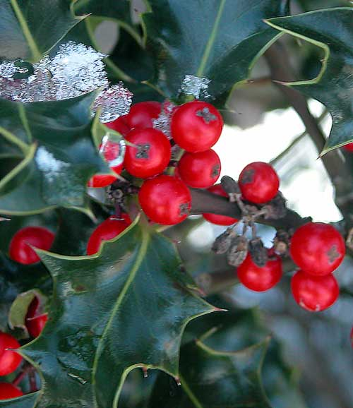 Winter garden with seasonal interest provided by the bright red berries and dark green foliage of a holly bush in the snow.