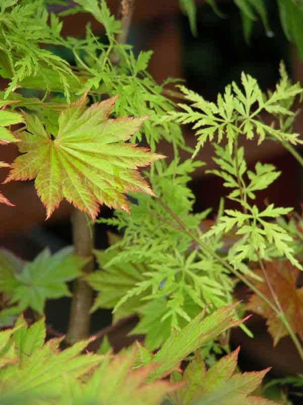 Delicate, red-tinged, bright green acer leaves in a woodland garden border