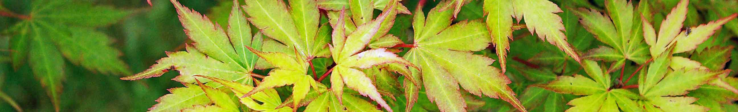 The delicate, deeply lobed, soft yellow-green leaves of Acer palmatum 'Sango-kaku', tinged with pink-red in an early autumn garden border