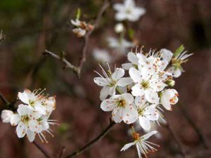 Weatherstaff PlantingPlanner fact file - plant Prunus spinosa