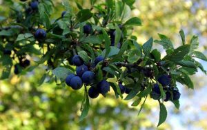 The Weatherstaff PlantingPlanner blog - sloes in the hedgerow
