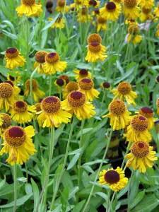 Garden Planting Styles - Helenium 'Pipsqueak' in a prairie-style garden