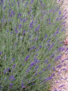 Garden Planting Styles - lavender in a mediterranean-style garden