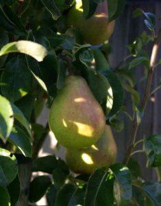 Weatherstaff Harvest Pyrus Doyenne du Commice