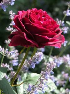 Garden Planting Styles - Roses in a Romantic Garden