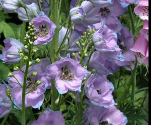 Garden Planting Styles - Delphiniums in a Romantic Style Garden
