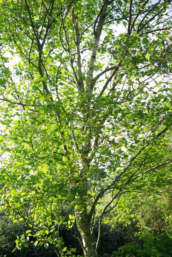 Betula pendula 'Fastigiata' Gardening Software Blog