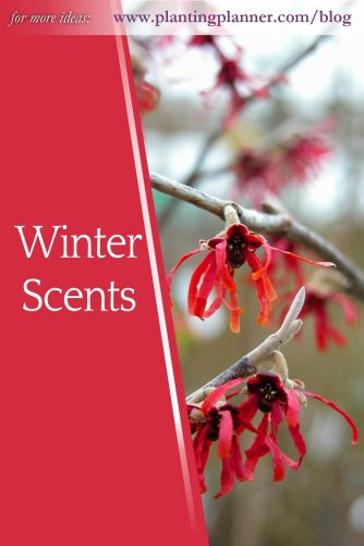 Winter Scents - follow Weatherstaff on pinterest https://www.pinterest.co.uk/plantingplanner/