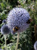 Wildlife Friendly Plant Echinops bannaticus 'Taplow Blue' Gardening Software