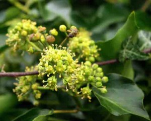 Wildlife Friendly Plant - Hedera helix (Ivy flowers) Gardening Blog
