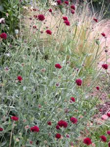 Knautia macedonica Gardening Software Blog