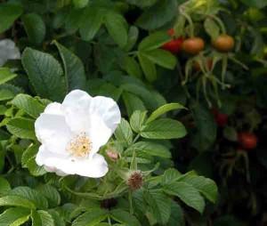 Rosa rugosa var. alba Gardening Software Blog