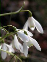 Snowdrop - Galanthus nivalis Gardening Software Blog