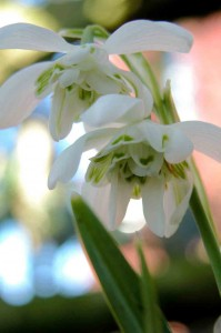Galanthus nivalis flore pleno Garden Planning Software