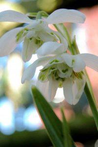 Galanthus nivalis flore pleno Garden Planning Software