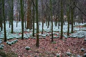 Snowdrops Weatherstaff Planting Planner Garden Sofware