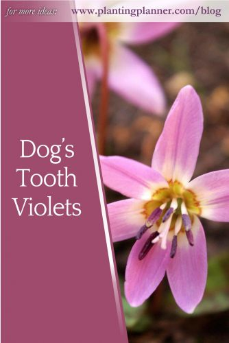 Dog's Tooth Violets - from Weatherstaff garden design software